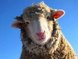 Wooly horned ruminant mammal