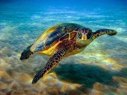Turtleboi