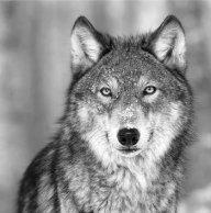Wolf 77