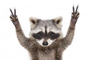 raccoon_sot