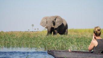 Elephant from the Okavango