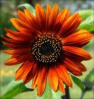SunflowerSarah