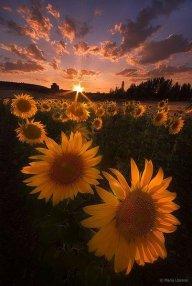 Sunflower80
